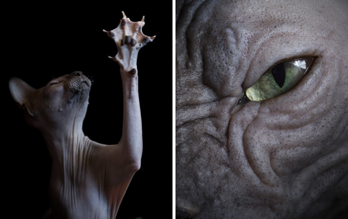 10+ Hairless Cat Photos That Will Remind You Of Aliens