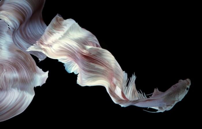 Art Of The Siamese Fighting Fish