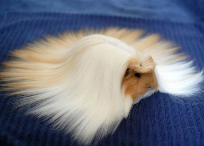 53 Guinea Pigs With The Most Majestic Hair