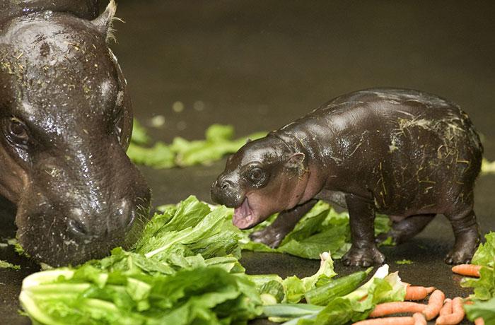 Pygmy Hippopotamus Meets Salad