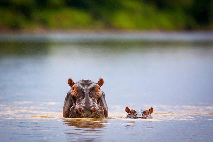 Baby Hippoaby Hippo