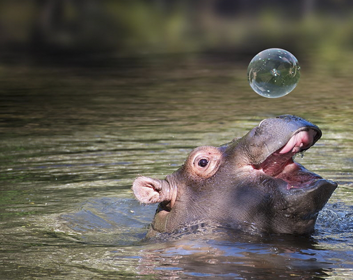 Baby Hippos