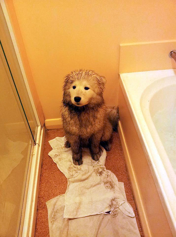 The Aftermath Of Wet Weather Meeting A Samoyed Puppy Digging A Hole