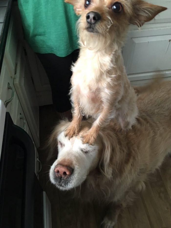 dog-climbs-big-friend-bella-hank-adriana-burkhart-6