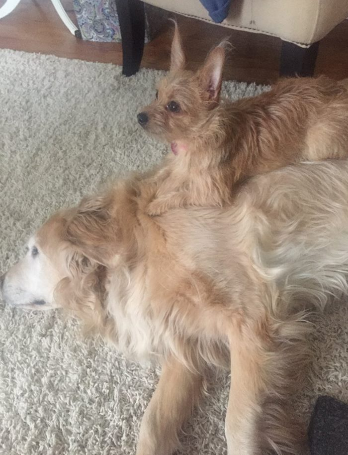 dog-climbs-big-friend-bella-hank-adriana-burkhart-8