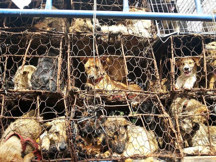 dog-meat-ban-yulin-festival-china- (12)