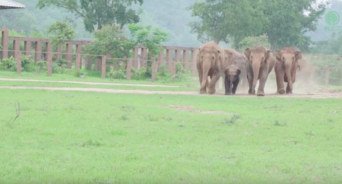 elephants-run-greet-new-rescue-baby-1
