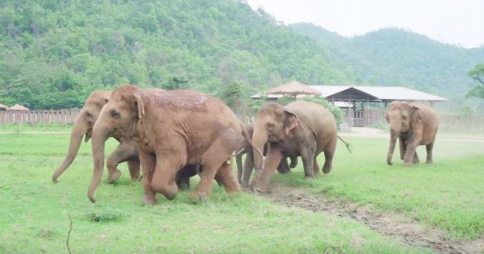 Estos elefantes corren a saludar a una cría recién rescatada