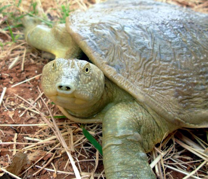 Euphrates Softshell Turtle