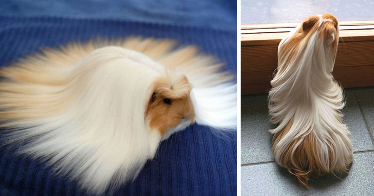Long haired guinea pig - photo#41