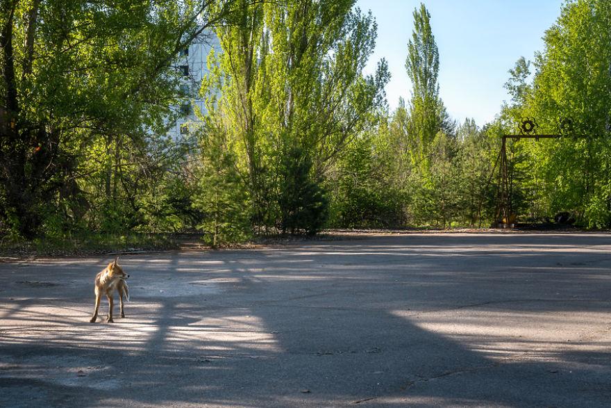 Fox Roaming Around Pripyat