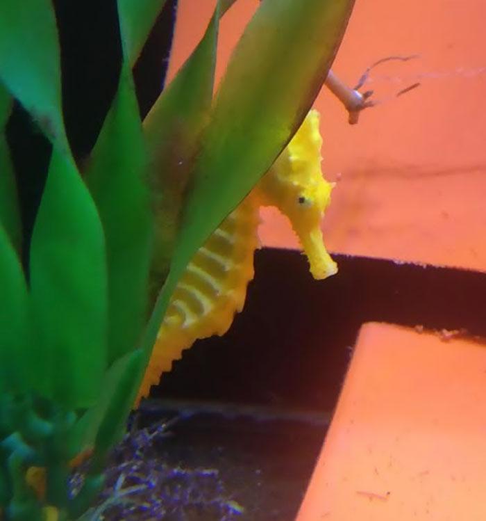 girl-rescues-seahorse-cheeto-6