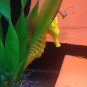 Girl Rescues Orange Seahorse Mistaken For A Cheeto, The Creature Turns Yellow Once She Feels Better