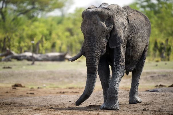 Elephant Just Killed Big Game Hunter During His Hunt In Africa