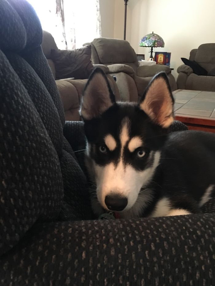 Husky Puppy Who's Not Allowed On The Couch