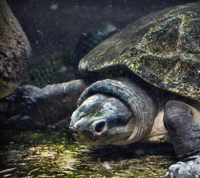 Malaysian Giant Turtle Or Bornean River Turtle