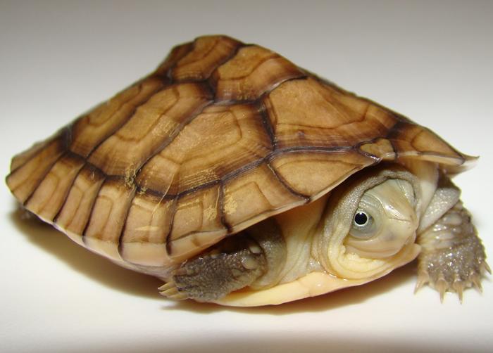 Yellow Pond Turtle