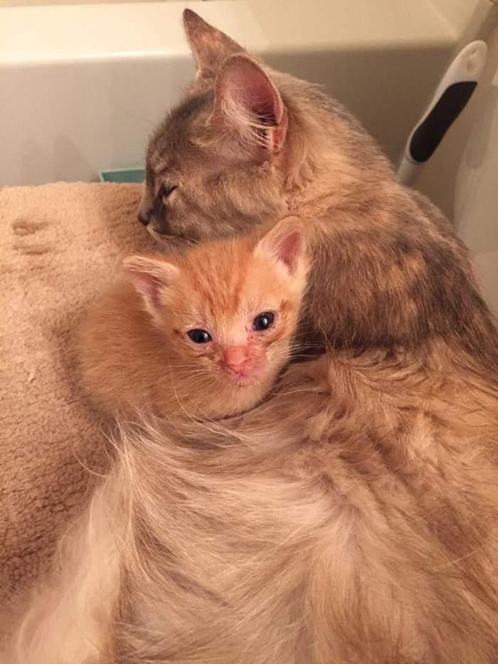 mother-shelter-cat-nurtures-orphan-kitten-ember-flame-2