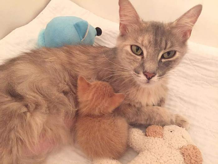 mother-shelter-cat-nurtures-orphan-kitten-ember-flame-3