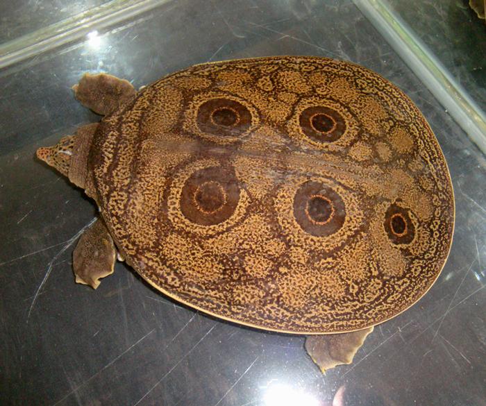 Burmese Peacock Softshell Turtle