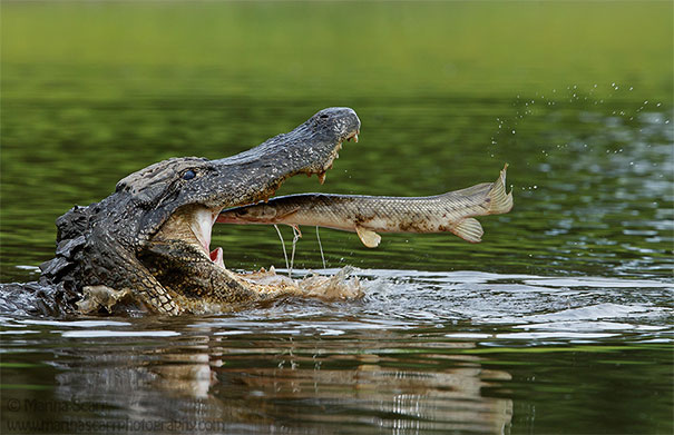 Alligator With Alligator Gar