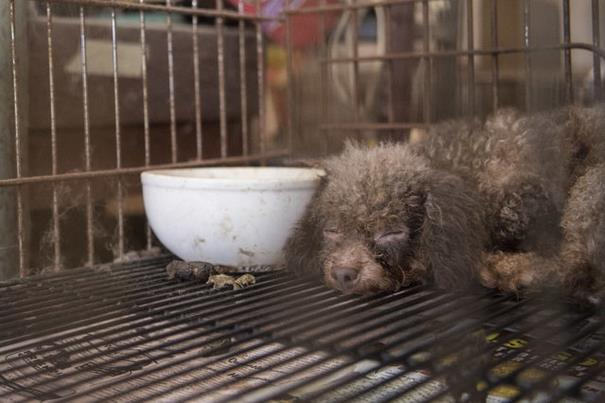 poodle-rescue-puppy-mill-basement-cage-11