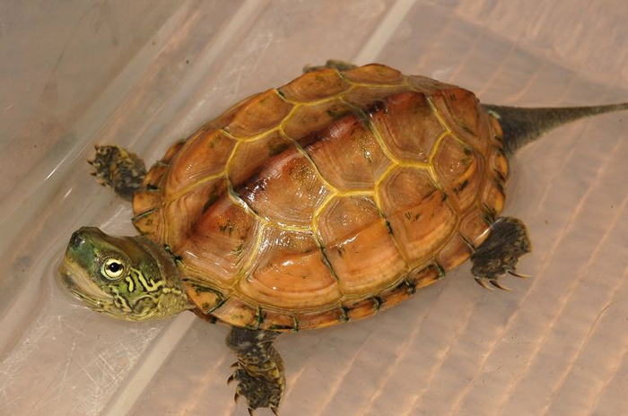 10 Endangered Turtle Species That You May Not Know Exist