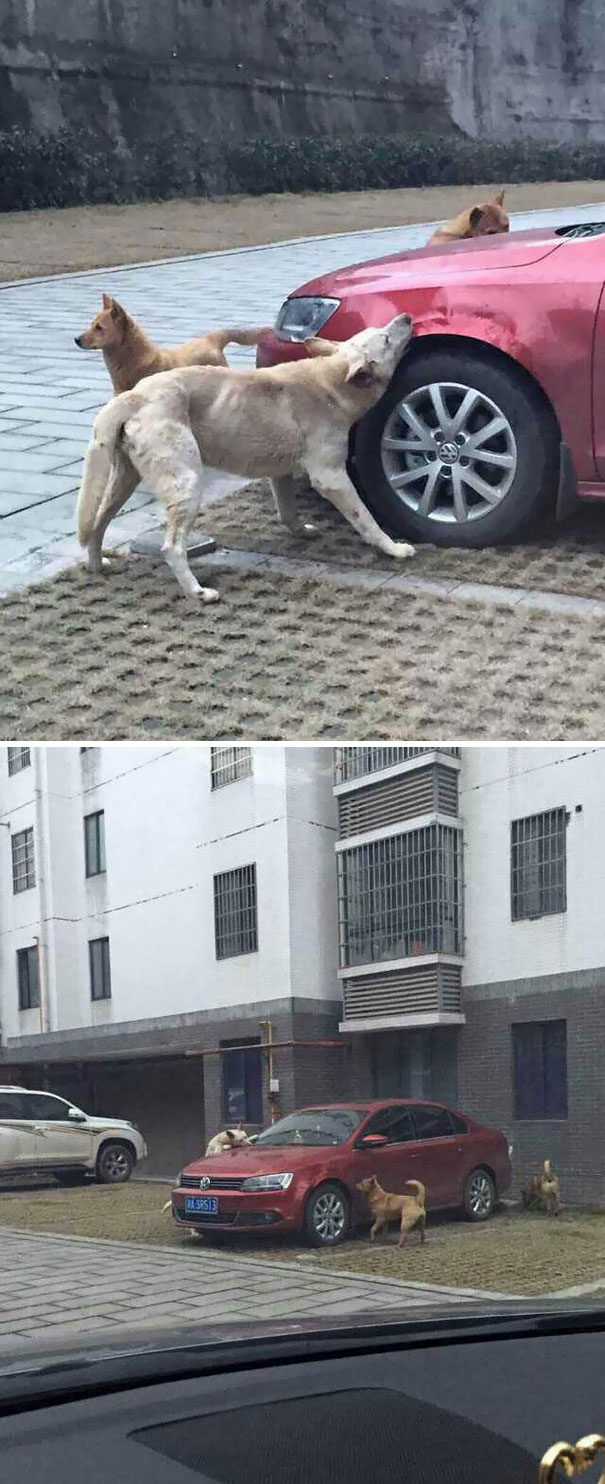 Stray Dog Kicked By Driver Returns With A Pack Of Friends To Trash His Car