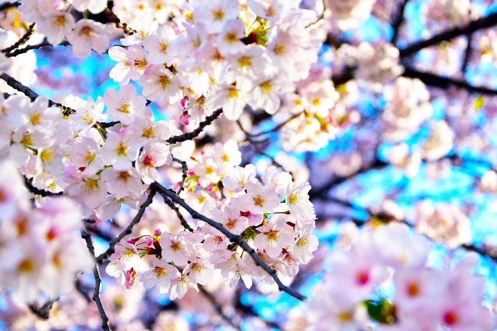 10+ Beautiful Cherry Blossoms In Tokyo