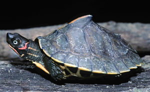 15+ Endangered Turtle Species That You May Not Know Exist