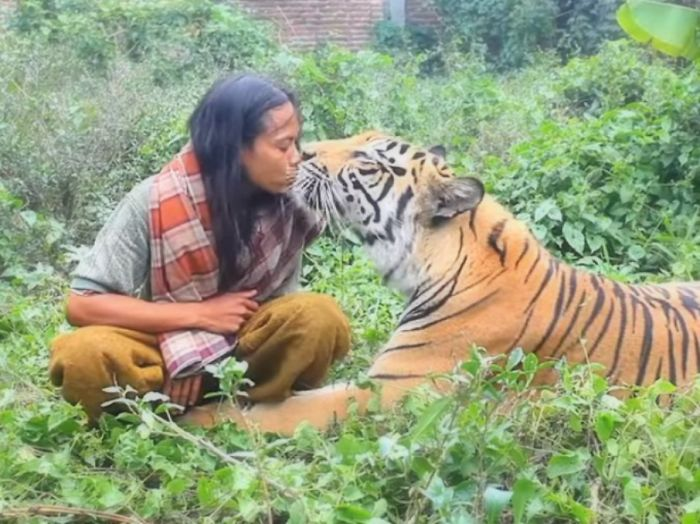 Indonesian Is The Best Friend Of A 180-Pound Bengal Tiger!