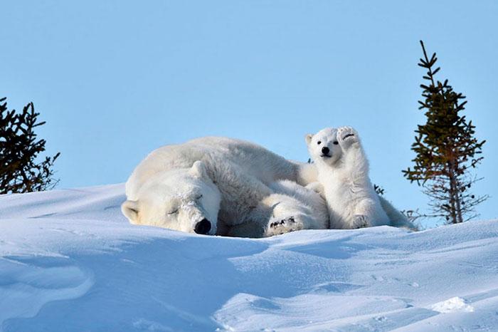 Polar Bear Cub Waves To Say 'Hi' To The Photographer, Inspires A Hilarious Photoshop Battle