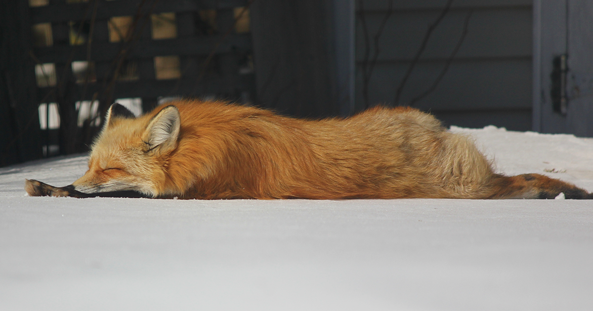 Meet Zorro The Fox Who Visits Me Every Day For The Last 3 Wi