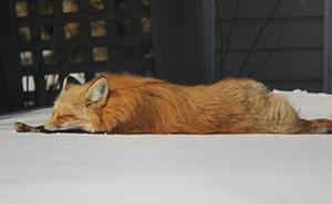 Este zorro lleva los 3 últimos inviernos visitándome cada día