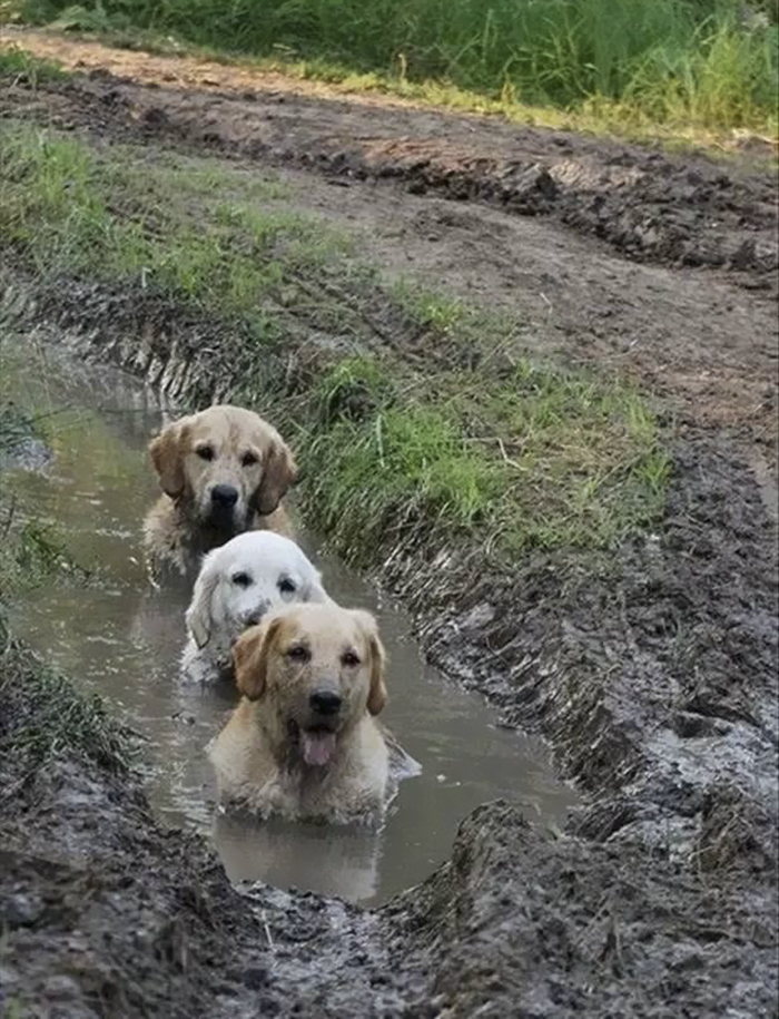 Dogs In Mud