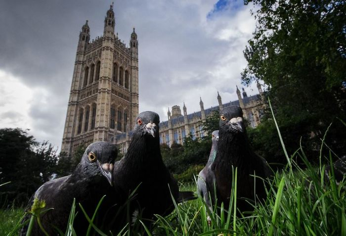 Parliament Pigeons, London, Uk