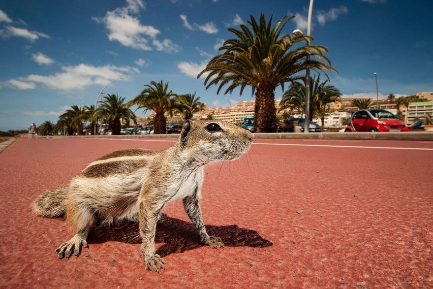 The Barbary Ground Squirrel, Canarian Island Of Fuerteventura