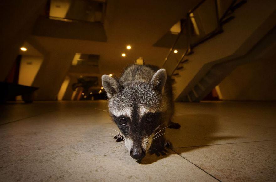 Raccoons, Yucatan, Mexico