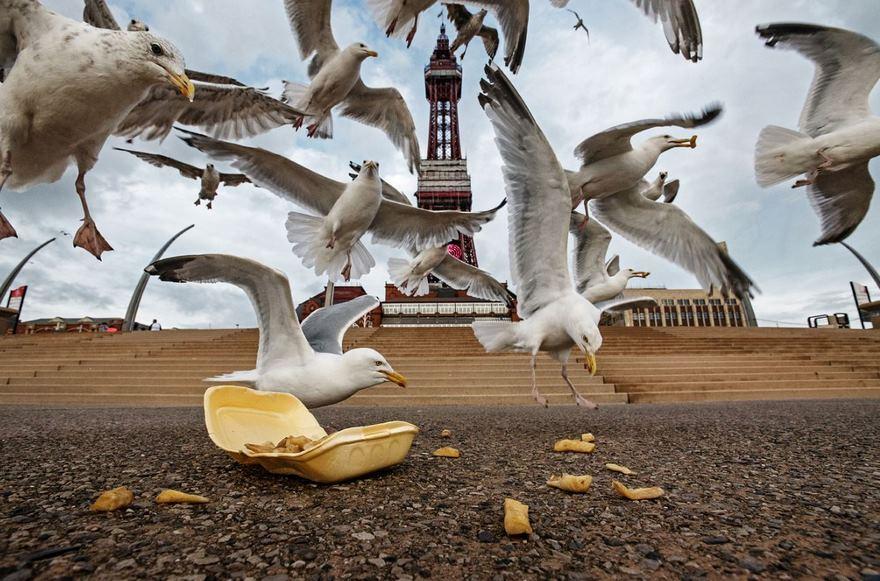 Gulls, Blackpool Seafront, Uk
