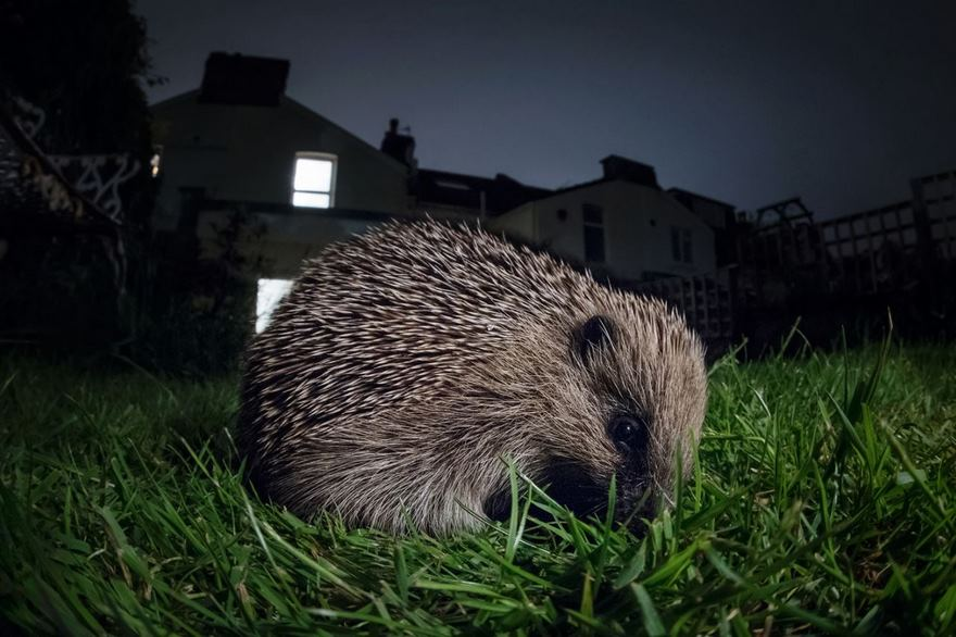 Hedgehog, Bristol, Uk