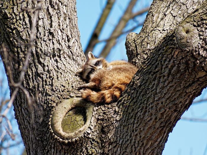 Adorable-cute-raccoons