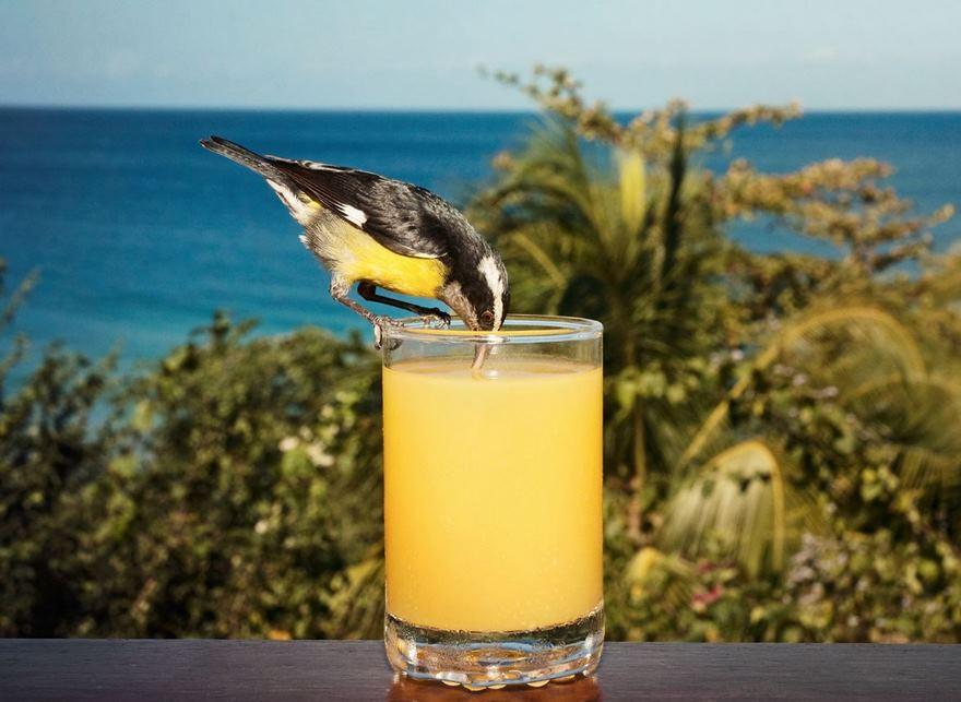 Bananaquit, Tobago