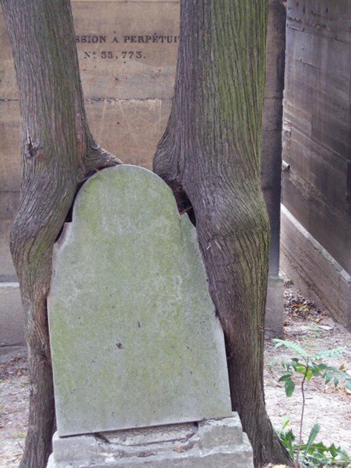 Two Trees Hugging (or Eating) A Tombstone.