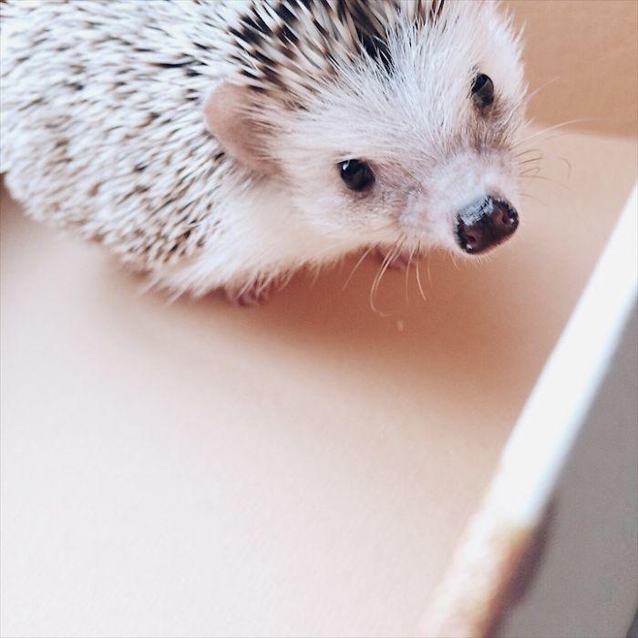 Pokey My First Hedgehog Pet