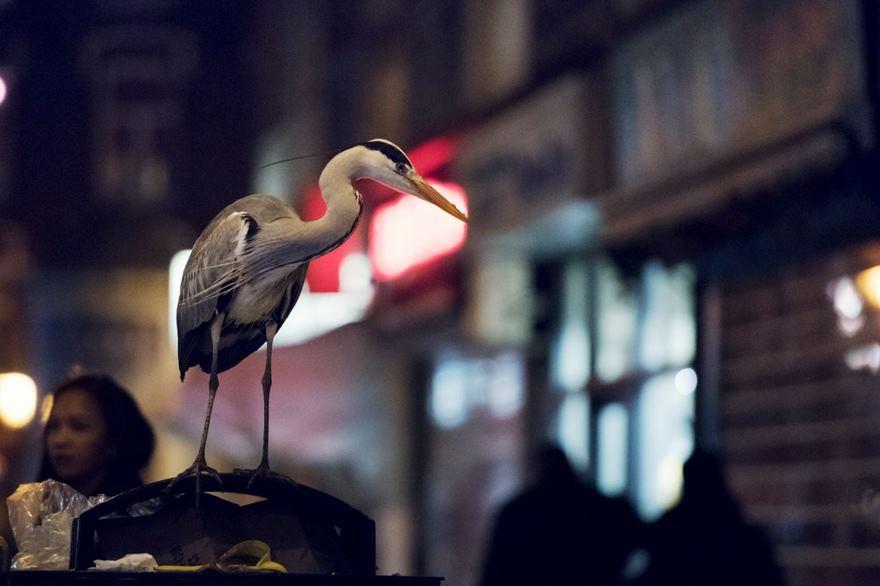 Night Heron, Amsterdam, Netherlands