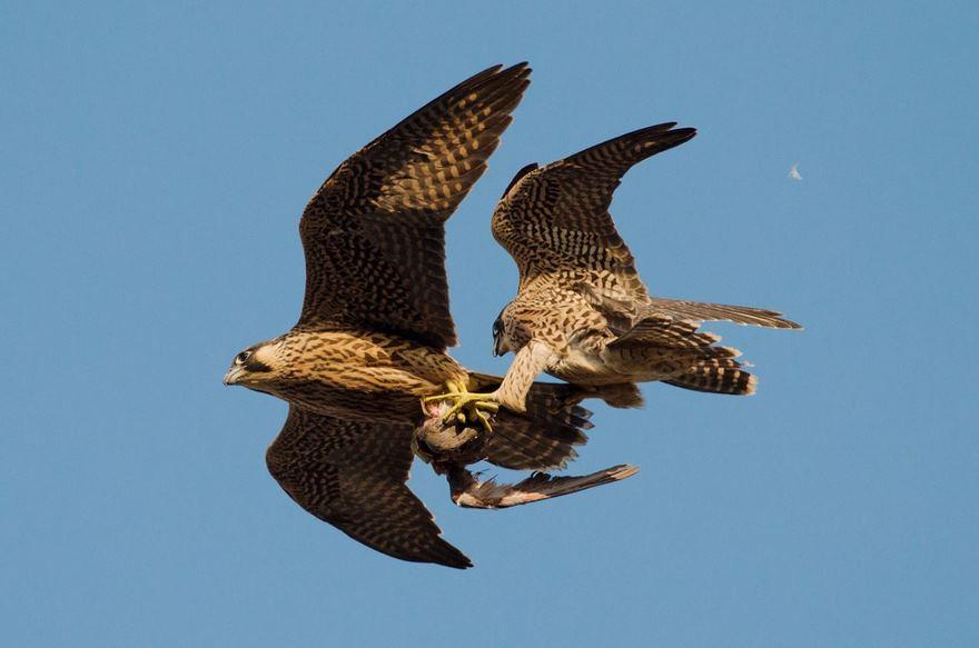 Juvenile Female And Male Peregrine Falcons, Bristol, Uk