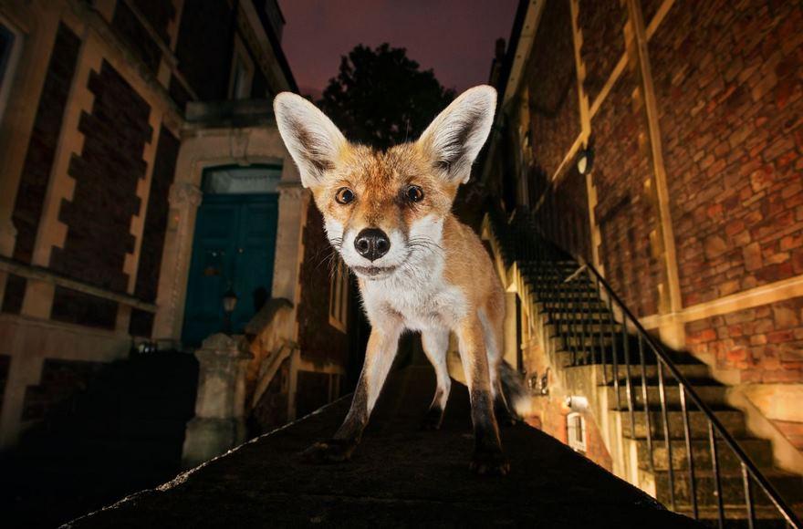 Red Fox, Bristol, Uk