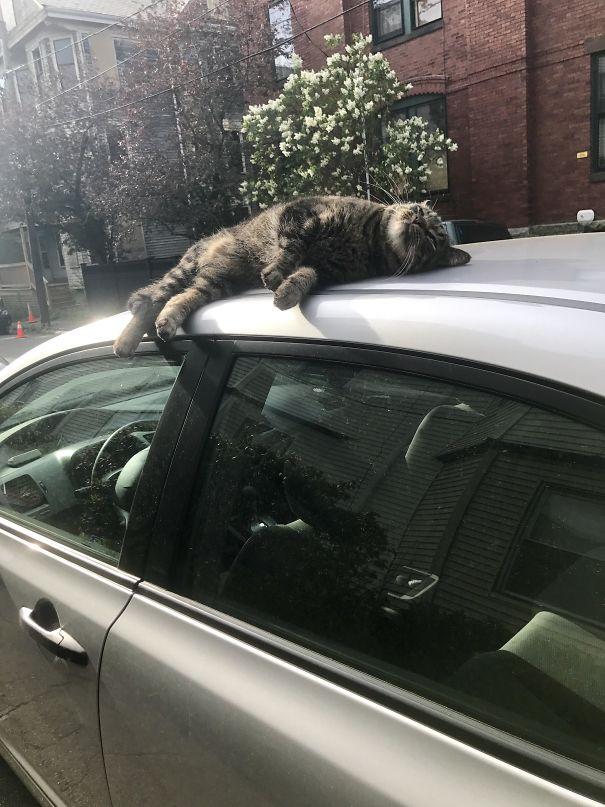 Caught The Neighborhood Cat Sunbathing On My Car This Morning