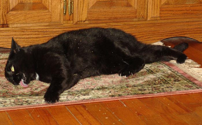 Lamiendo la alfombra durante su viaje con hierba gatera