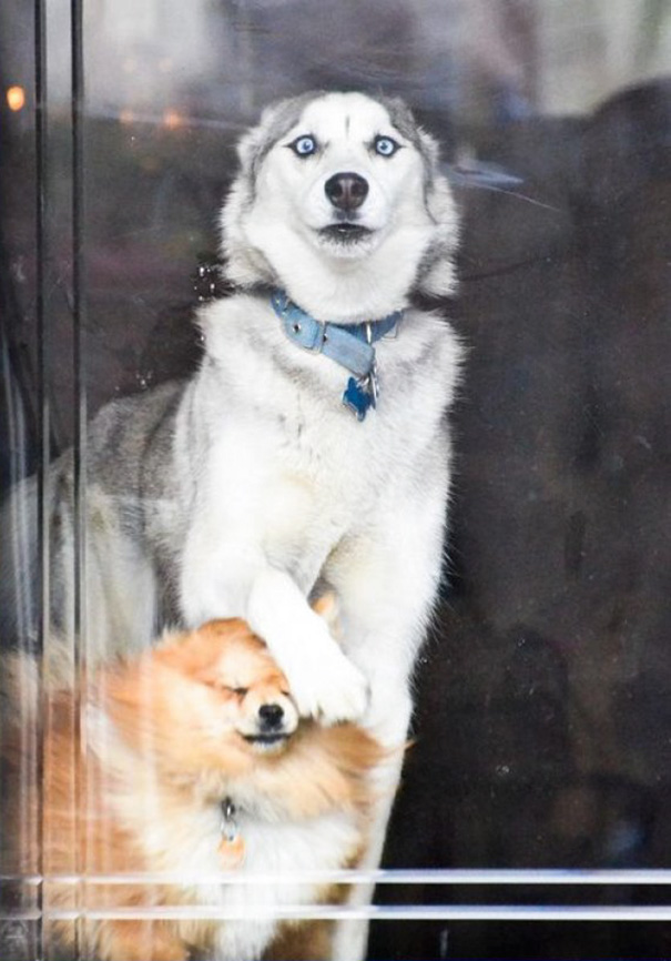 My Girlfriend's Dog When Someone's At The Door